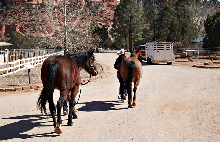 Scarlett and Wire the horses being led down a road
