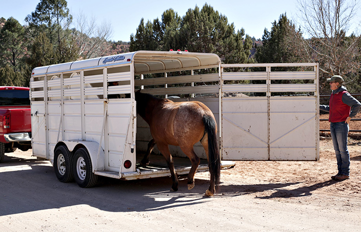 A brown horse being led into a trailer