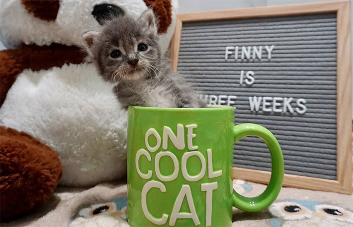 Gray tabby kitten in a coffee cut that says One Cool Cat