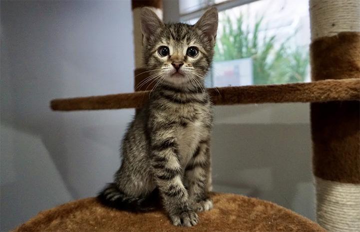 Brown tabby kitten sitting on a cat tree