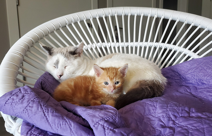 Gray and white cat lying next to orange kitten on a purple blanket on a chair