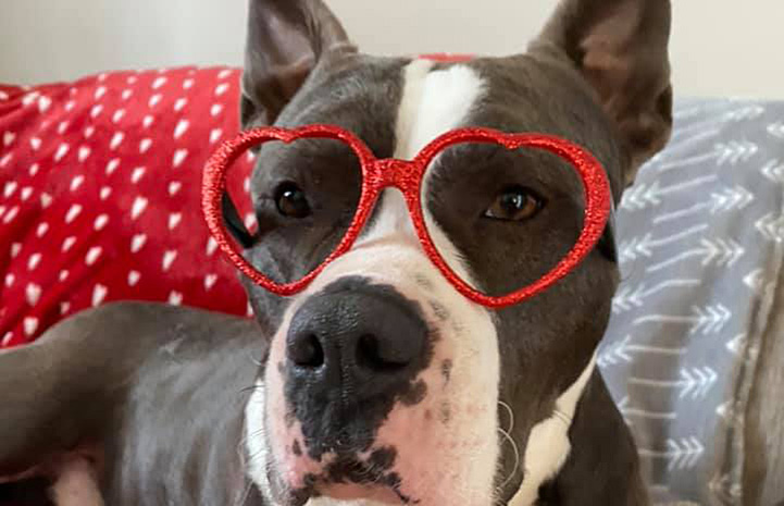 Brian, a gray and white pit bull type dog, wearing heart-shaped red glasses