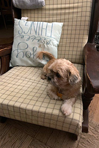 Hamilton the dog lying on a chair next to a pillow