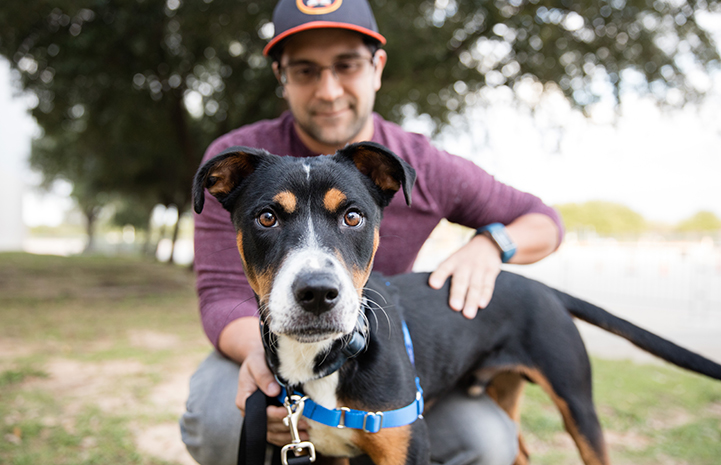 Tri-colored dog wearing a blue harness with man behind him with his arms around the dog