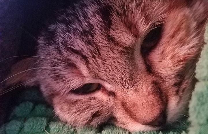 Kiko the tabby cat lying down
