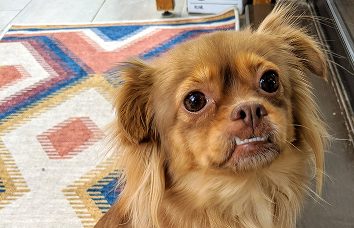 Fluffy brown dog with an under-bite, Leona