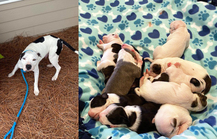 Photo of Mama Bean the dog next to a photo of her litter of puppies on a blanket