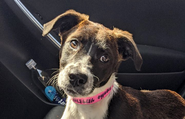 Olga the puppy wearing a pink paper ID collar lying in a car