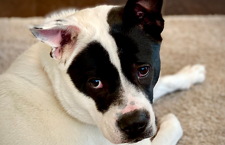 Oreo the black and white dog in his foster home