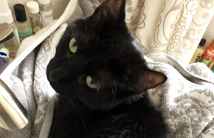 Rick the black cat in his foster home