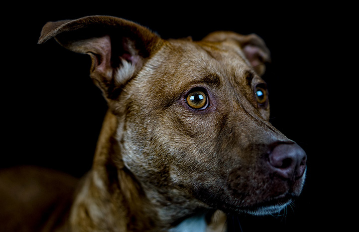 Side of a brown dog's face with a black background