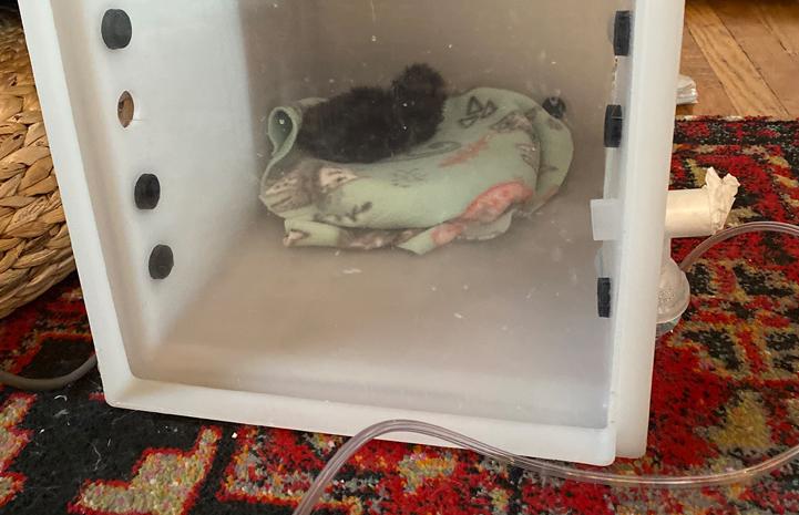 Kitten sleeping in an nebulizer