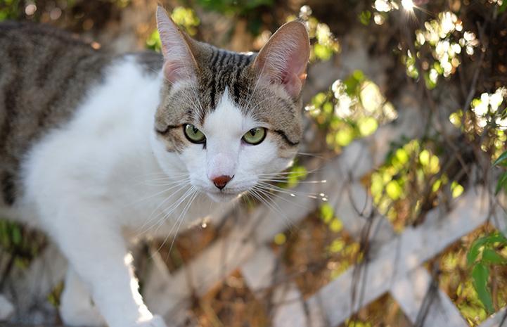 Obi the cat walking outdoors