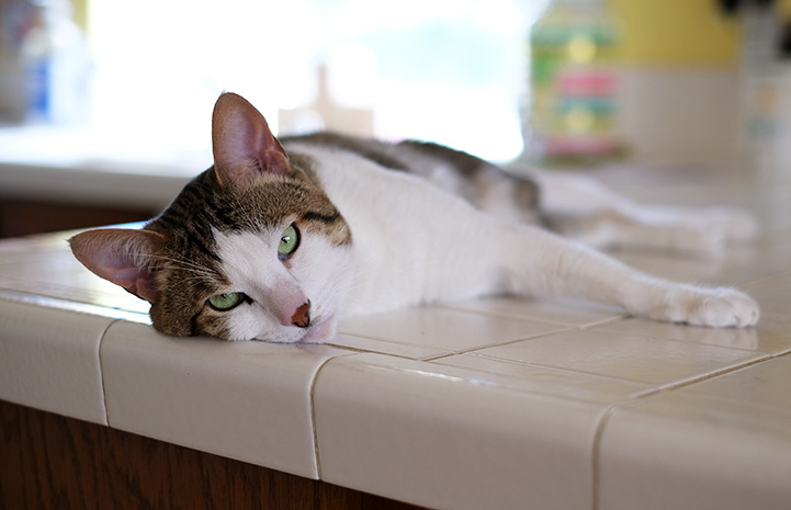 Obi the cat laying down on a counter