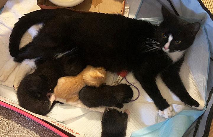 Callie the cat lying down with the kittens suckling