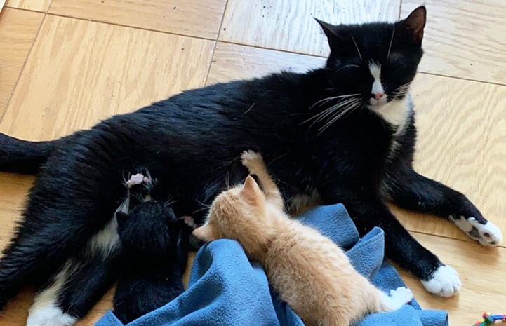 Callie the black and white mama cat lying on a wooden floor while one of her kittens and Arnie the orange foster kitten are nursing