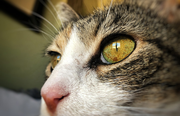 Close-up of the face of Coraline, a calico cat
