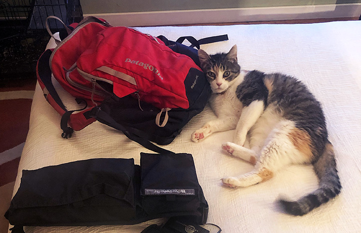 Coraline the calico cat lying on the hotel bed next to some gear, including a backpack