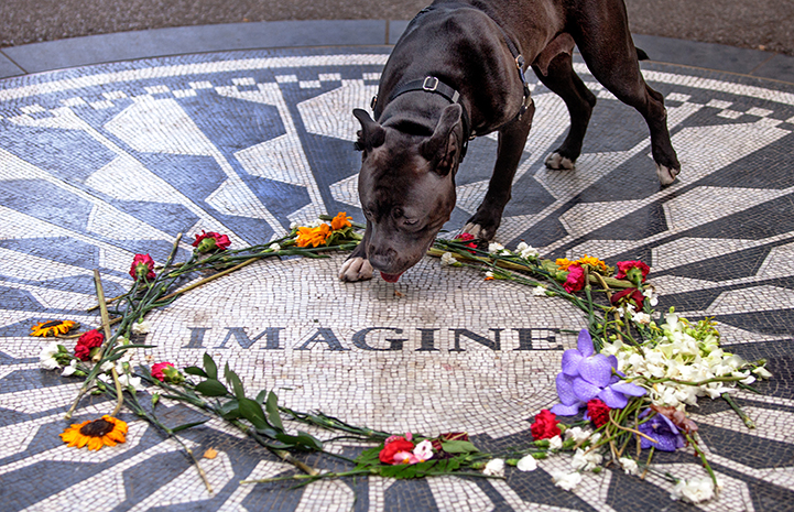 Queen Lilian, a black and white pit bull terrier-type dog, at the Imagine mosaic in Strawberry Fields in Central Park in New York City