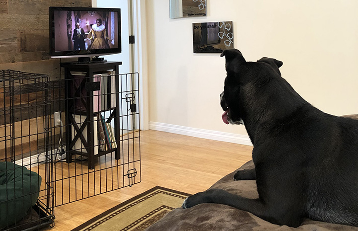 Raven the dog watching TV