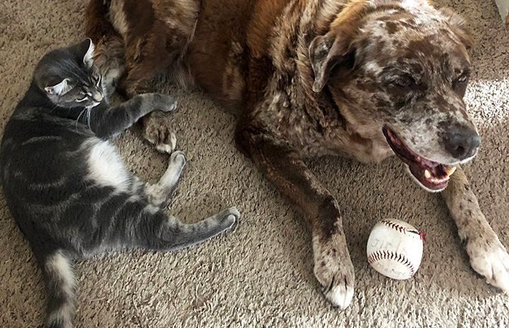 River the foster dog lying next to a gray tabby cat