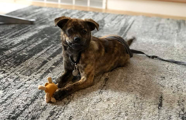 Mustard the foster dog lying on a rug with a toy being held by her front paws