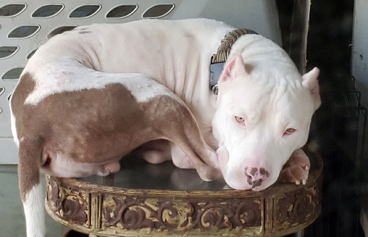 Xavier the pit bull terrier curled up in a ball lying on a small table