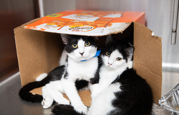 Pair of black and white kittens lying in a cardboard box