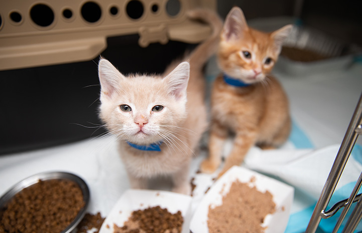 Pair of fluffy kittens with some plates of food in front of them and a carrier behind them