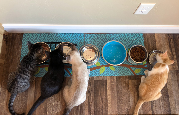 Four kittens lined up and eating out of individual bowls on a blue mat