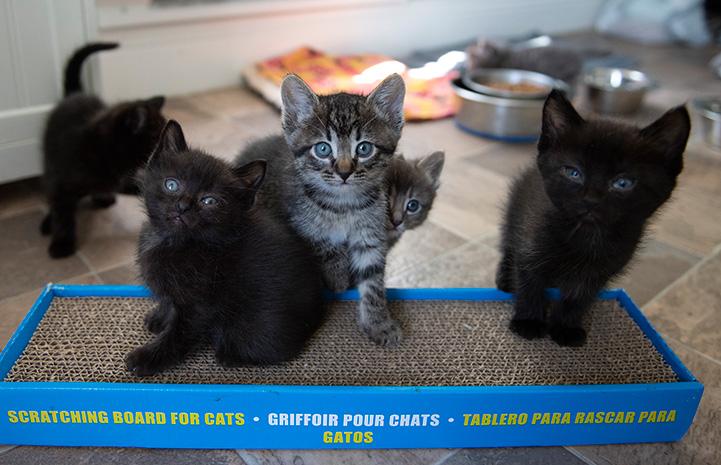 Litter of five kittens, some standing on a cardboard scratcher