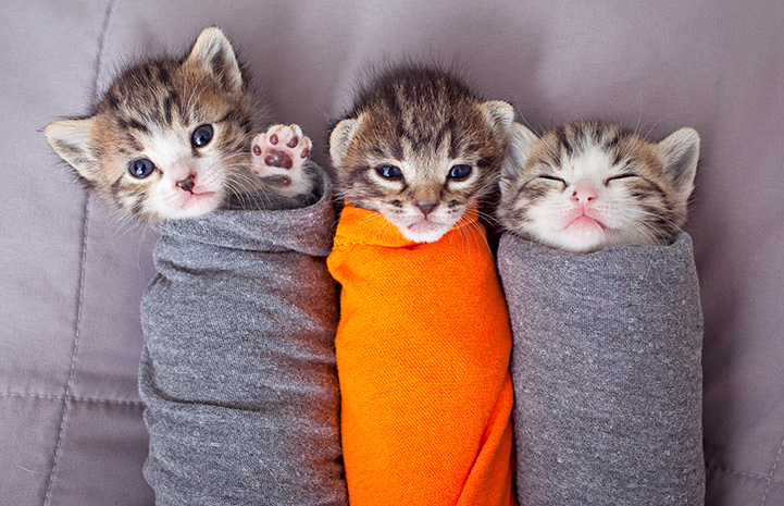 Three little kittens swaddled in cloth like burritos