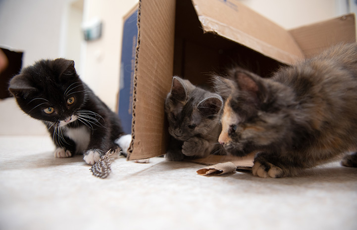 Three kittens playing with a feather in and around a cardboard box