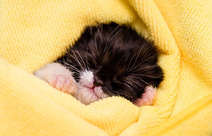 Tiny neonatal kitten sleeping in a yellow blanket