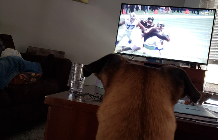 Beau the foster dog watching football on TV