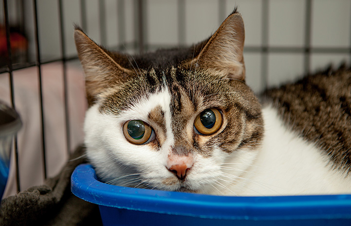 Brown tabby and white cat lying in a blue container in a kennel