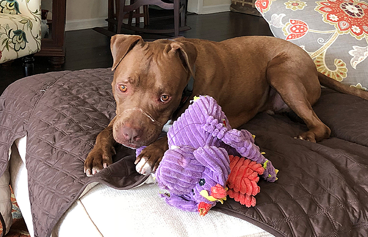 Parker the brown and white dog lying down next to a purple plush toy