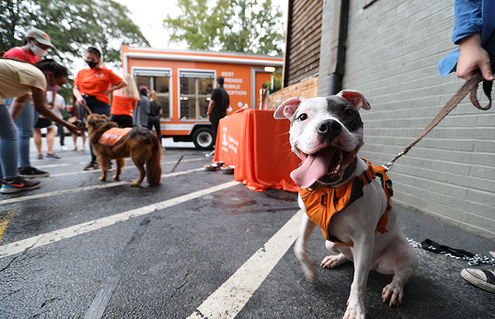 Gray and white pit bull type dog with tongue out and leashed in an orange harness outside at a Best Friends event
