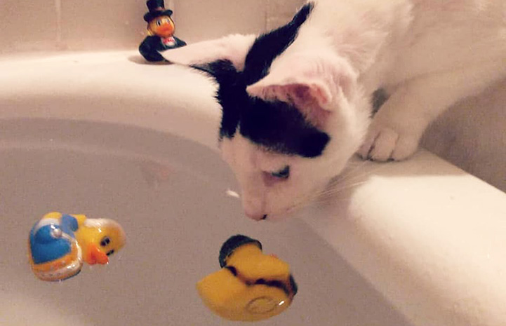 Black and white cat sniffing a rubber duck floating in a bathtub