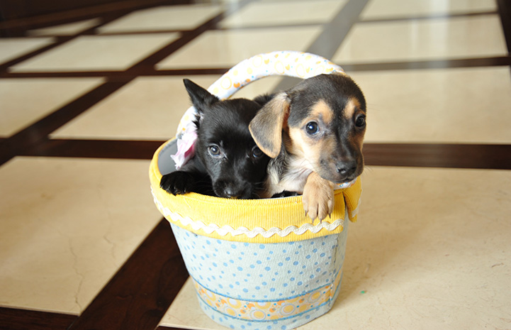 Two puppies sitting in a yellow and white basket