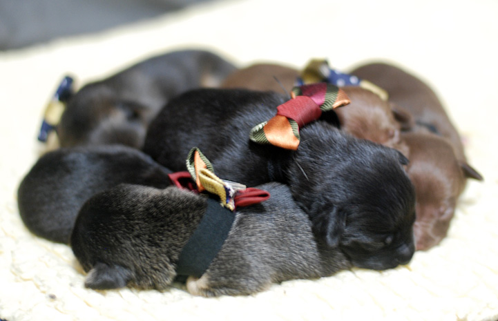 Litter of puppies sleeping in a pile and wearing bow ties