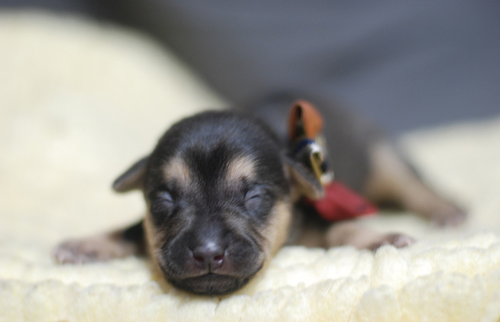 Black and brown tiny puppy sleeping and wearing a bow tie