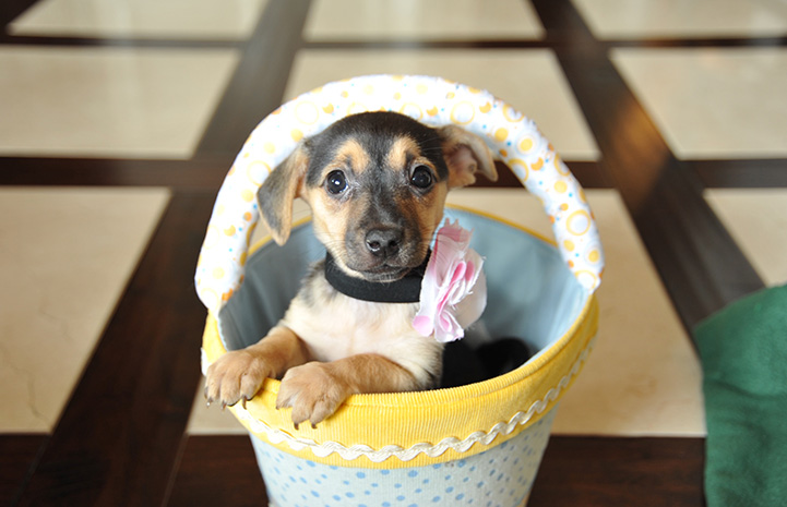 Black and brown puppy in a yellow and white basket