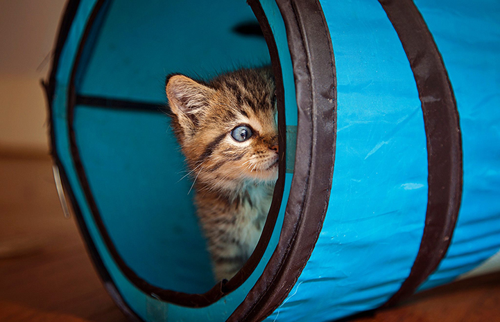 Brown tabby kitten peeking out from a blue cat tunnel