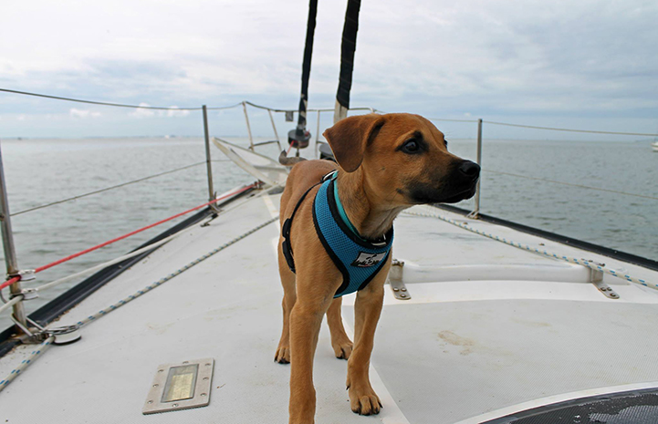 Scooby enjoys some short sailing trips