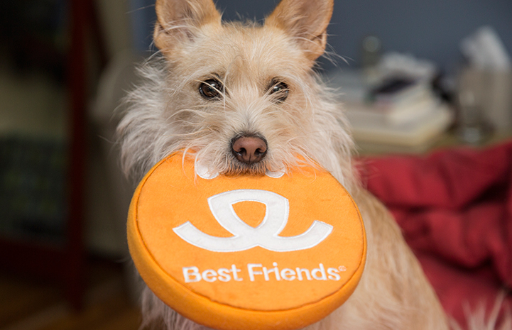 Terrier-type dog holding a Best Friends logo disc Frisbee in his mouth