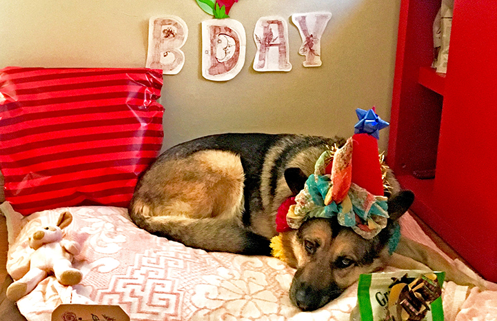 Harriet the German shepherd dog lying on a bed, wearing a birthday hat with a banner and presents