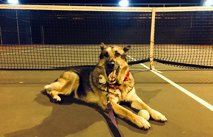 Harriet the German shepherd dog lying on a tennis court with a ball between her legs