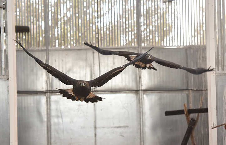 After rehabilitation, both eagles could safely be released into the wild right from the Sanctuary
