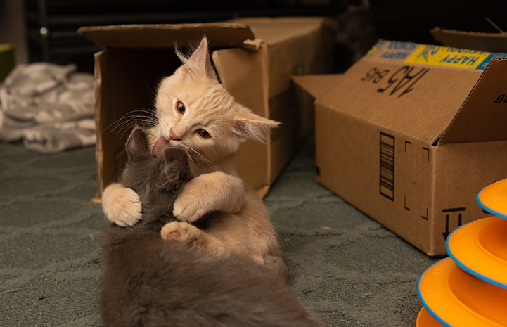 Two kittens playing in a foster home, next to some cardboard boxes and an orange ball roll toy